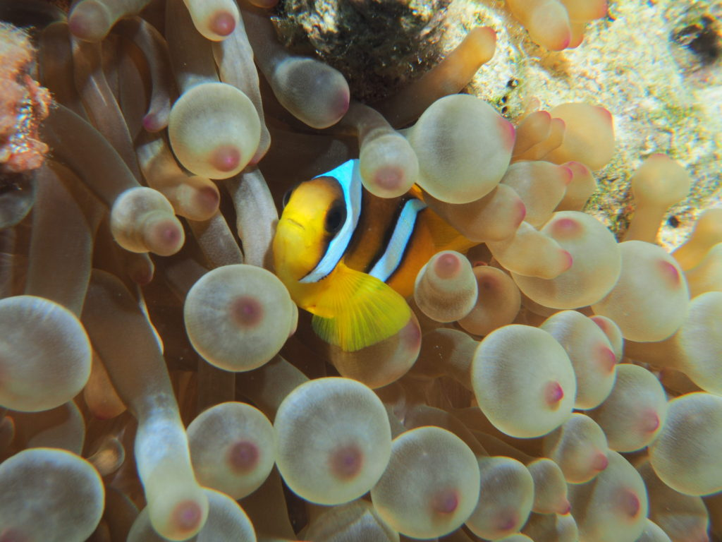 clownfish at red sea aqaba