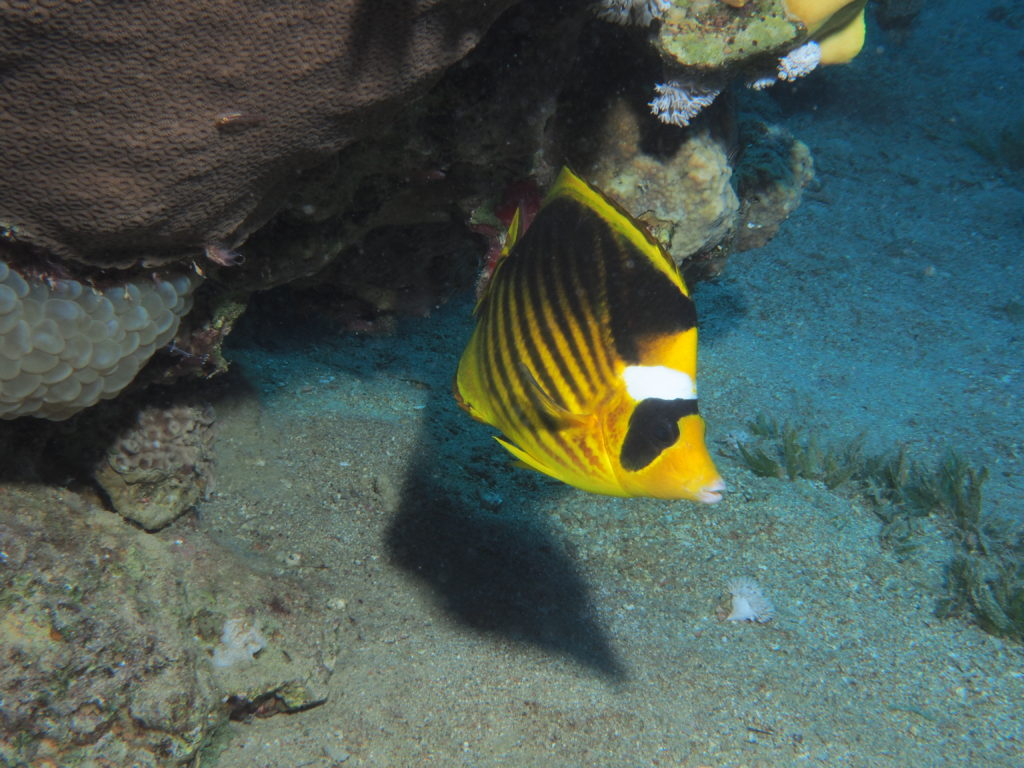 butterfly fish t red sea aqaba